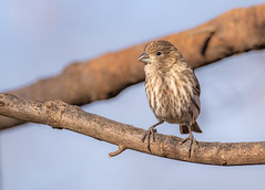 And now Mrs. House Finch :) (Lynn Tweedie) Tags: wood housefinch 7dmarkii feathers branch eye sigma150600mmf563dgoshsm beak eos bird canon missouri ngc animal
