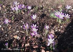 February 15th, 2019 Crocuses (karenblakeman) Tags: crocus flower february 2019 2019pad uk