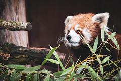 725A9325 (regisfiacre) Tags: parc animalier sainte croix saintecroix rhodes moselle animaux animals animal tier zoo france canon 5div mark iv 4 plein format full 100400mm ailurus fulgens red panda roux