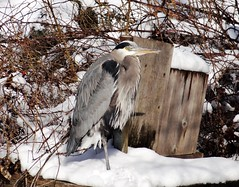 Snowy heron (EcoSnake) Tags: herons greatblueheron ardeaherodias gbh birds wildlife winter february snow idahofishandgame naturecenter