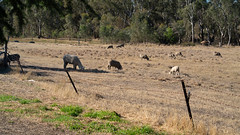 DSC07376 (ThyNameIsBlair) Tags: australia outback bendigo farmlife オーストラリア アウトバック ベンディゴ 牧場ライフ