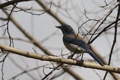 California Scrub Jay (siamesepuppy) Tags: momsgarden southerncalifornia wild bird scrubjay calif cclicense californiascrubjay