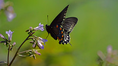 Swallowtail Butterfly (Jerry Hamblen) Tags: swallowtail butterfly wildflower flower spring springtime insect