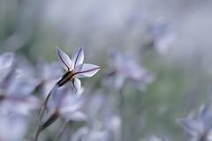 lumière froide (christophe.laigle) Tags: flower fuji christophelaigle fleur macro xpro2 xf60mm nature