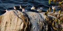 Laughing Gulls and Terns (asterisktom) Tags: chiapas mexico oaxaca 2019 march puertoescondido bird vogel ave 鸟 птица 鳥 pajaro gull tern laughinggull leucophaeceusatricilla coastal mexico2019janmarch