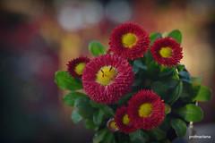 DSC_0793  warm spring evening light (profmarilena) Tags: reddaisies eveninglight spring macro profmarilena