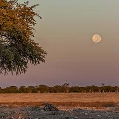Namibia Moonrise (gecko47) Tags: landscape namibia okaukuejonp waterhole grassland veld dusk sundown moonrise fullmoon tree moon treeline haze africa
