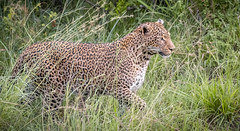 Eye on the Prize? (helenehoffman) Tags: africa kenya pantheraparduspardus felidae mammal conservationstatusvulnerable cat feline africanleopard leopard bigcat maasaimaranationalreserve animal