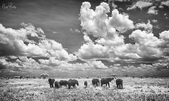 TANZANIA 1 (Nigel Bewley) Tags: tanzania africa wildlife nature wildlifephotography nigelbewley photologo appicoftheweek safari gamedrive africanelephant loxodontaafricana sky clouds blackandwhite march march2019 serengetinationalpark canonef1635mmf28lusm canon5dmkii 830nm infrared digitalinfrared advancedcameraservices blackwhite creativephotography artphotography