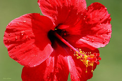 Flor de hibisco (Zéza Lemos) Tags: flordehibisco flores flowers flor algarve água drops drop gotas gota jardim jardins jardineiro portugal plantas pétalas water vilamoura canon capture