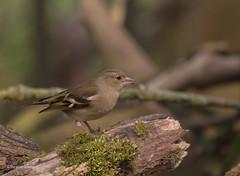 Frau Buchfink... (wernerlohmanns) Tags: natur wildlife outdoor vögel schärfentiefe singvögel sperlingsvögel sigma150600c d750 nikond750 nabu nsg deutschland