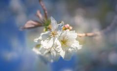 Cherry Blossom (Dhina A) Tags: sony a7rii ilce7rm2 a7r2 a7r plena cherry blossom lensbaby velvet 56 56mm f16 macro lensbabyvelvet5656mmf16 bokeh portrait art lens 4elements 3groups blur manualfocus spring flower