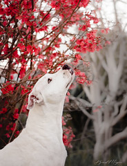 Makeba (Perros de Liaa) Tags: dogo argentino france flower blanc white dog chien dogue argentin douceur