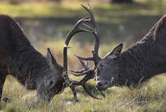 Stag Fight (samueledwardhyde) Tags: nature red deer fight aggresion angry rut green brown antlers male animal mammal british outside wildlife wildlifephotography nikon 200500mm