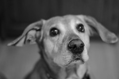 The Patient Pup (aaron_gould) Tags: pup dog lab canine dogs nose d7000 black white animals love happy puppy puppies monochrome bw pets blackandwhite bokeh nikkor
