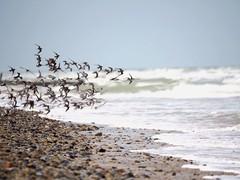 L'envol des gravelots (frclicclac) Tags: grayesurmer oiseaux lamanche thechannel plage beach seashore gravelotàcollierinterrompu bird calvados normandy normandie france