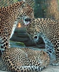shrilankan panther Burgerszoo 094A0407 (j.a.kok) Tags: animal asia azie predator panter panther pantheraparduskotiya mammal zoogdier dier cat kat shrilankapanter shrilankanpanther shrilankanleopard shrilankaansepanter shrilanka jaffna moederenkind motherandchild burgerszoo burgerzoo
