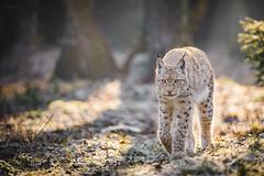 Through the clearing (Soren Wolf) Tags: lynx animal animals lynxes zoo wrocław walk walking looking front bokeh short depth field dof beautiful sunny delightful big cat cats nikon d610