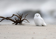 Snowy Owl (KoolPix) Tags: snowyowl owl raptor birdofprey white ocean sand beach branch koolpix jaykoolpix naturephotography nature wildlife wildlifephotos naturephotos naturephotographer animalphotographer wcswebsite nationalgeographic fantasticnature amazingnature wonderfulbirdphotos animal amazingwildlifephotos fantasticnaturephotos incrediblenature wildlifephotography wildlifephotographer mothernature