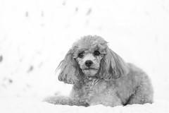Tina-LR-DSC_2782-2 (studiofuntas) Tags: プードル トイプードル ティーカッププードル poodle toypoodle teacuppoodle モノクローム monochrome 犬 dog pet ペット ロケーション撮影 リクエスト撮影 locationphoto locationshooting