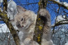 Рикки и зима. (Angelok-Happy) Tags: кот невскаямаскарадная рикки дерево снег зима snow winter rickythecat nevamasquerade handsome
