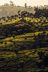 The shadow play (acharya_mr) Tags: teaestate ooty canon canonindia canonphotography canon80d landscape nature naturallight landscapephotography