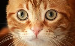 Spritz (En memoria de Zarpazos, mi valiente y mimoso tigre) Tags: cat eyes greeneyes closeup portraitcat ginger nose pink orangetabby gato gatto chat red roux