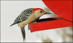 Red bellied woodpecker (Lynnemvt) Tags: backyardbirds birdfeeder winter february 9 2019 panasonic lumix fz1000 wisconsin
