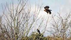 Le corbeau inquiet (Alexandre LAVIGNE) Tags: hdpentaxdfa150450mm pentaxk1 2019 buse corbeau hiver branches k1 lumière nature oiseau rapace vol homblièressaintquentin picardiehautsdefrance