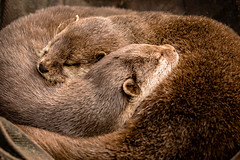 Quality time (bransch.photography) Tags: sleep zoo wildlife lovely cute mammal sweet cuddle time outdoor brown wild water animal river together nose head fur beautiful furry relax quality otters cuddling animals fauna otter rest nature adorable lovable