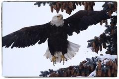 Bald Eagle taking flight. #photography #photooftheday #photoadaychallenge #project365 #canon7d #sigma150600 #bird #opcmag #baldeagle #bird #winter (PSKornak) Tags: photography photooftheday photoadaychallenge project365 canon7d sigma150600 bird opcmag baldeagle winter calgary alberta canada