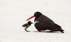 Ostrero común (Evangelina Laura) Tags: islas galápagos ecuador sudamérica aves naturaleza pichón ostrero común haematopus palliatus american oystercatcher