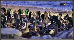One Coot (robinlamb1) Tags: natue outdoor animal bird duck mallard anasplatyrhychos water beach mill lake abbotsford