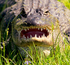 My what big teeth you have! (postman325111) Tags: alligator reptile nature photography sunny sunshine hike lake florida takeahike