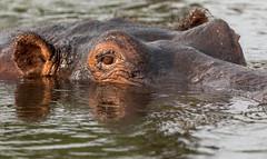 Hippo (Thomas Retterath) Tags: thomasretterath nature natur 2018 safari nopeople fluss chobe botswana africa afrika river wildlife hippopotamus hippo flusspferd hippopotamidae pflanzenfresser herbivore säugetier mammals animals tiere hippopotamusamphibius closeup nahaufnahme 15challengeswinner