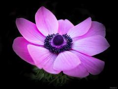 pink anemone (Christine_S.) Tags: canon eos m5 flower macro blossom closeup nature japan spring garden efm22mm ngc npc blackbackground