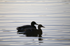 Two ducks at dawn (jamestapatio) Tags: