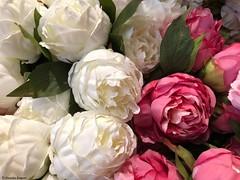 pivoine-blanche-et-rose© (alexandrarougeron) Tags: photo alexandra rougeron fleur plante couleur paris ville urbain flickr