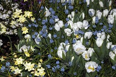White Tulips-Daffodils-Grape Hyacinth. (rumerbob) Tags: tulips tulipswhite yellowdaffodil daffodil grapehyacinth flower floral flowergarden fauna flowerphoto philaflowershow botany botanicalgardens botanical nature naturewatcher naturephotography canon7dmarkii canonef247028liiusm