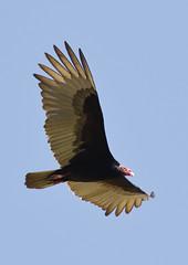 Turkey Vulture_19-03-01_WDC_0407AM2 (Langham Birder) Tags: cuba turkeyvulture