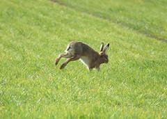 Hare (hedgehoggarden1) Tags: hare animal mammal wildlife nature sonycybershot creature field norfolk eastanglia uk sony running