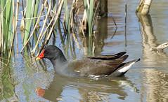 Moorhen (hedgehoggarden1) Tags: moorhen birds wildlife nature creature sonycybershot animal norfolk eastanglia uk bird wildfowl sony reeds lake water