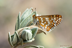 Ondas rojas (ajmtster) Tags: macrofotografía macro insecto invertebrados mariposa mariposas lepidopteros nymphalydae ninfalidos euphydryasaurinia euphydryas aurinia amt butterfly butterflies ondasrojas sundaylights