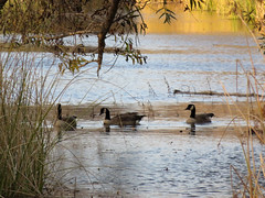 Just keep swimming (Kelson) Tags: california madronamarsh marsh nature hike southbay torrance birds geese ducks pond water plants