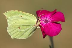 Papillon citron (chapichapo2012) Tags: butterfly papillon citron