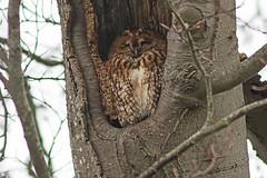 Tawny Owl (drbut) Tags: tawnyowl strixaluco birdofprey bird birds trees wildlife nature canonef300f4lisusm