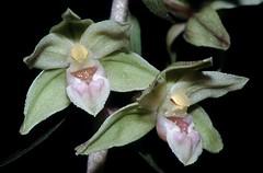 rfl01805F (m-klueber.de) Tags: rfl01805f flora rhönflora pflanzen mitteleuropa mitteleuropäisch blütenfarbe 19990724 purpurata orchidaceae stendelwurz violette grünblütige grün sitter blüte orchidee orchideen pflanze sumpfwurz viridiflora violetter grünblütiger rfl01805 epipactis epipurp rhön deutschland 1999 mkbildkatalog europäisch europäische pflanzenwelt