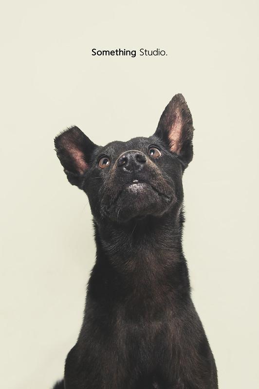 寵物攝影/待領養-月曆明星狗