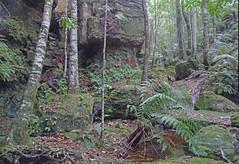 Rainforest_2 (Tony Markham) Tags: missinghamsteps budderoonationalpark kangarooriver wet slippery steep dangerous rainforest fungi fungus pleurotus