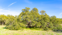 HillCountry_027-2 (allen ramlow) Tags: large giant old oak tree landscape sony alpha texas hill country